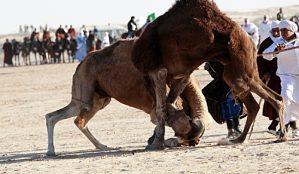 camels_fight_sahara_festival